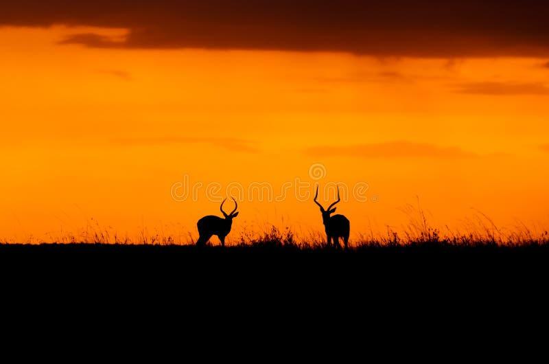 Impala sunset in the Masai Mara royalty free stock photography