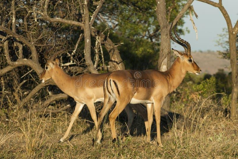 Impala Suráfrica foto de archivo
