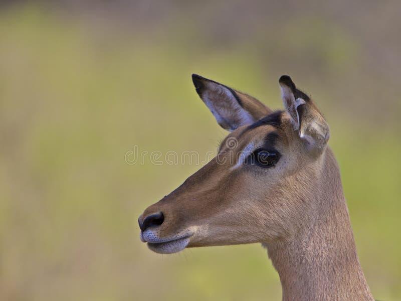 Impala, Suráfrica imagen de archivo libre de regalías