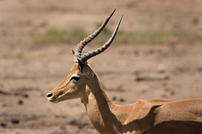 Download Impala in Tsavo fotografia stock. Immagine di southern - 7324272