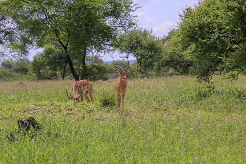 Impala twee op gras gevulde weide royalty-vrije stock afbeeldingen