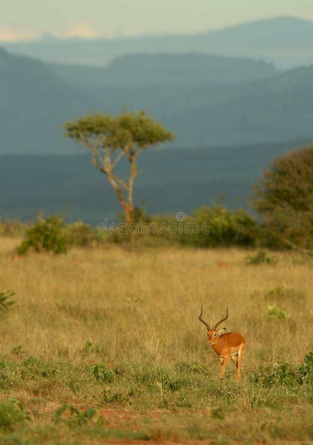 Impala und Akazie stockbilder