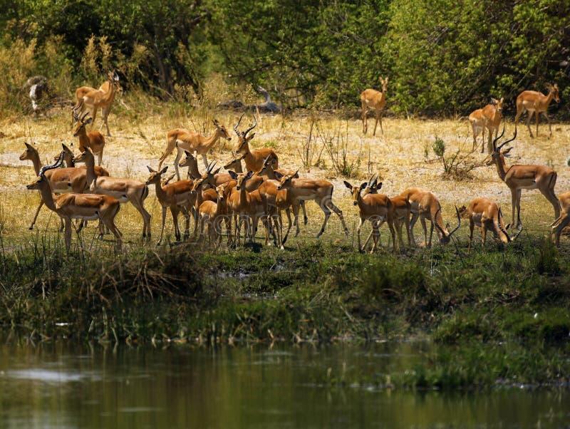 Impala, vlaktesspel naast het water stock afbeeldingen