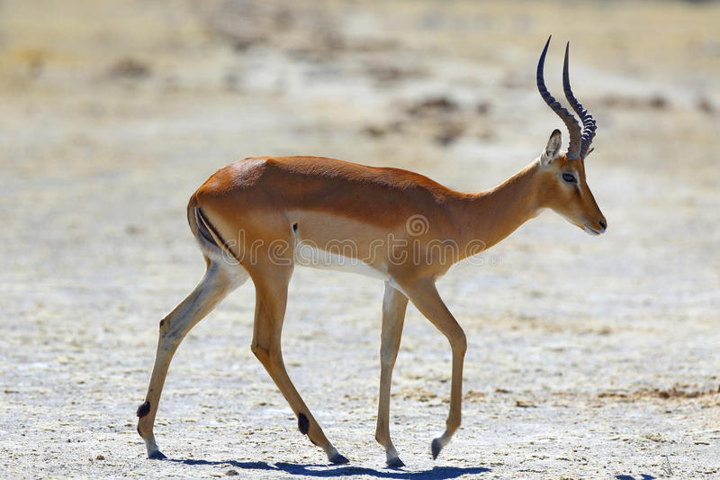 Impala am waterhole stockfotografie
