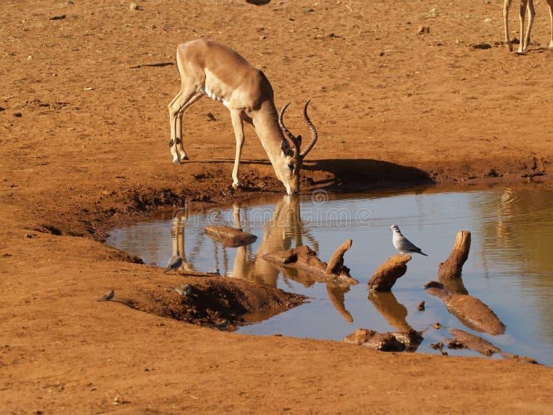 Impala a waterhole immagini stock