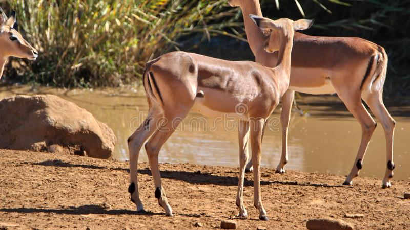 Impala by a watering hole. In Pilanesberg National Park, North West Province, South Africa royalty free stock image