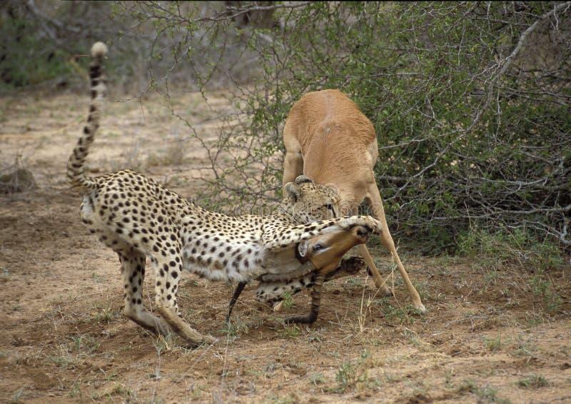 Impala y gepard imagen de archivo libre de regalías