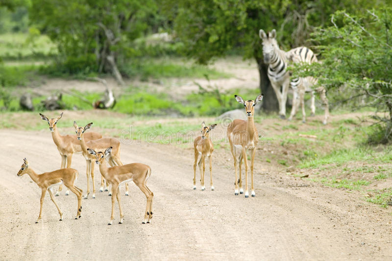 Impala and Zebra on dusty road in Umfolozi Game Reserve, South Africa, established in 1897 royalty free stock photography
