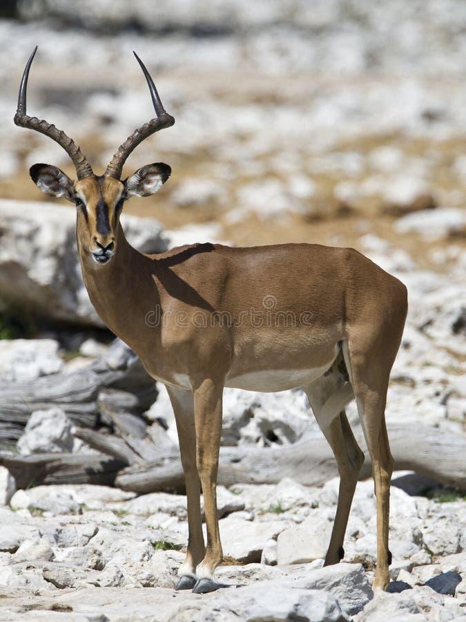 Impala, zwart-Onder ogen gezien Impala, Aepyceros-melampuspetersi stock afbeeldingen