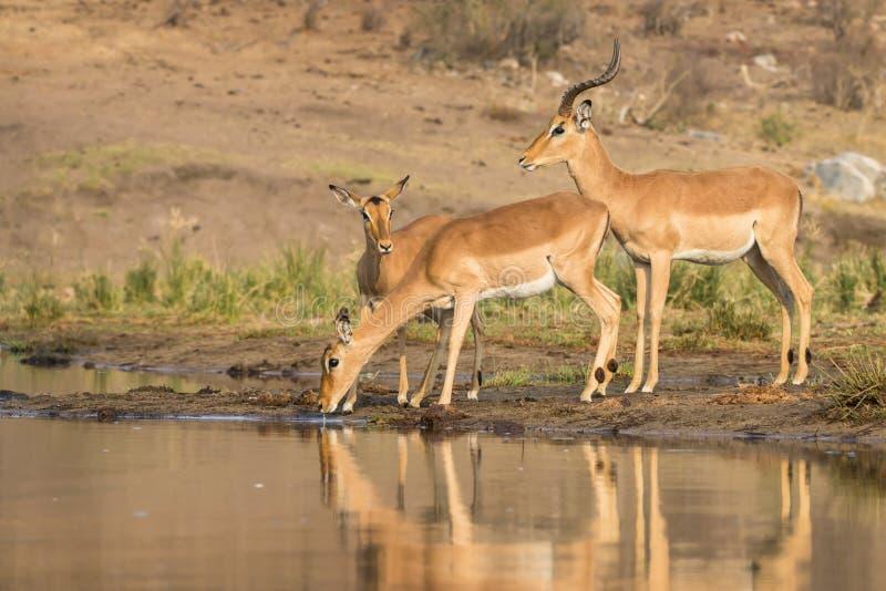 Impalaantilop på vattenhålet royaltyfria bilder
