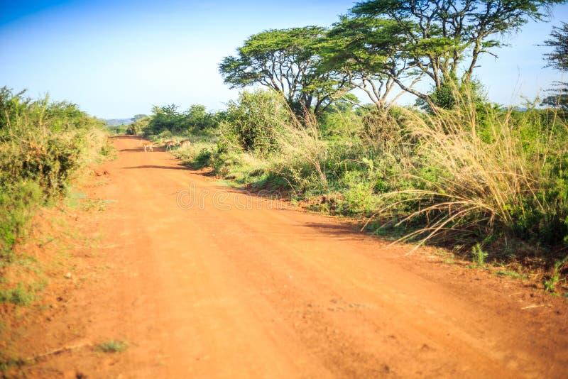 Impalaantilop som korsar en afrikansk smuts, röd väg till och med savan royaltyfria bilder