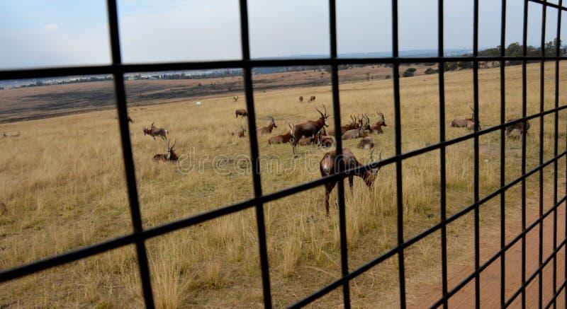 Impalaantilope die op het graslandschap lopen stock fotografie