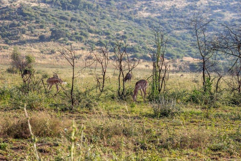 Impalaantilope, het Nationale Park van Pilanesberg royalty-vrije stock afbeeldingen