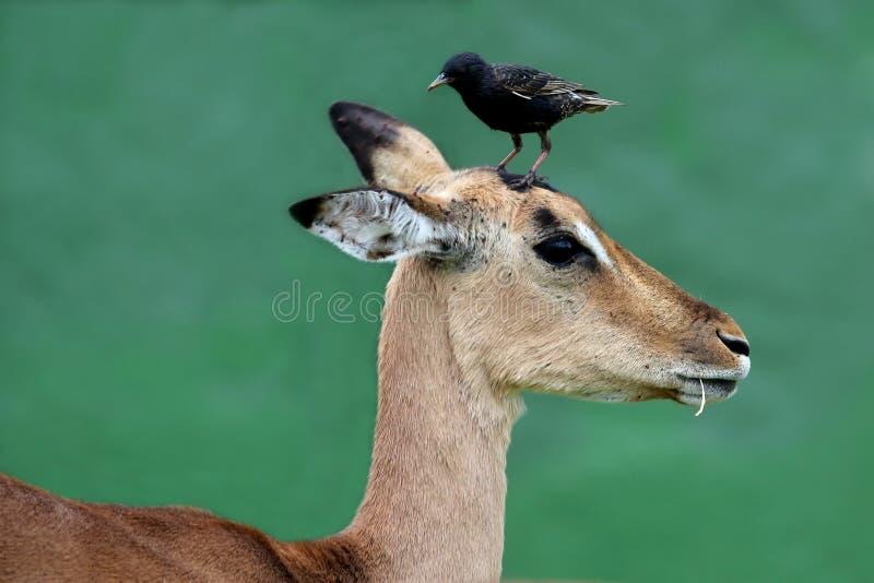 Impalaantilope met Vogel op Hoofd stock fotografie