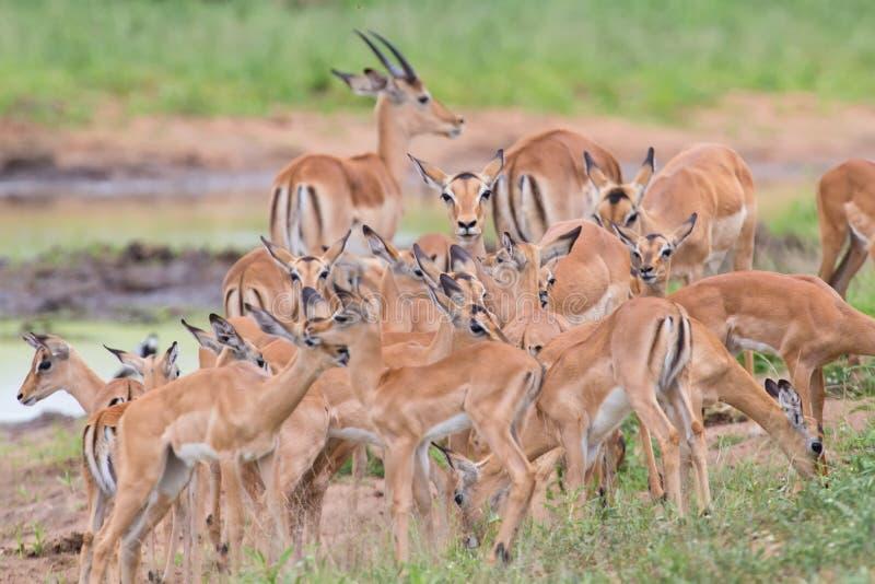 Impaladoen smeker hennes nyfödda lamm i farlig miljö royaltyfri bild
