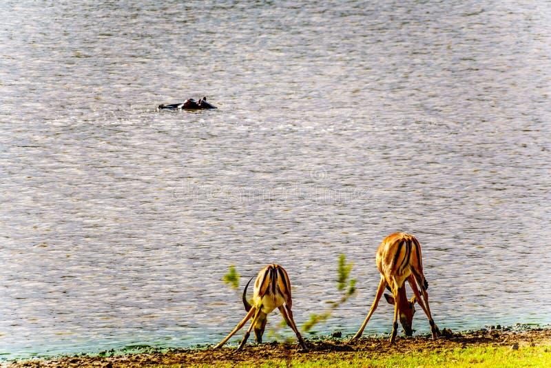 Impaladricksvatten från ett bevattna hål med en flodhäst som ser på arkivbilder