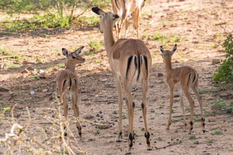 Impalafamilie stockbilder