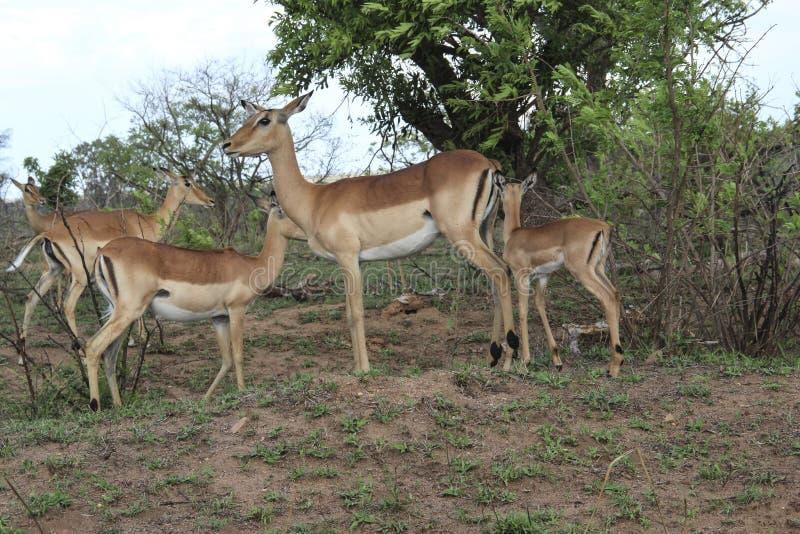 Impalafamilie mit Babys, Nationalpark Kruger, Südafrika stockfoto