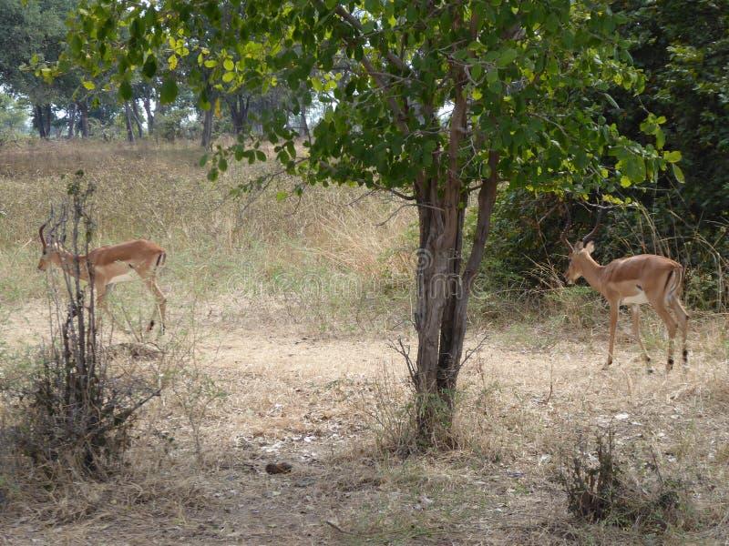 Impalafamilie Sambiasafari Afrika-Naturwild lebende tiere stockfotografie