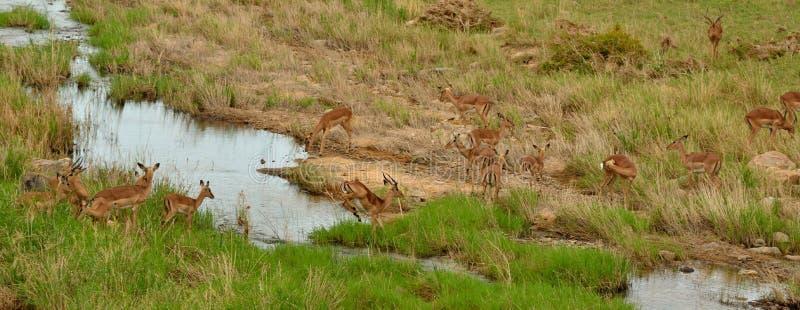 Impalaflock som korsar en flod royaltyfri fotografi