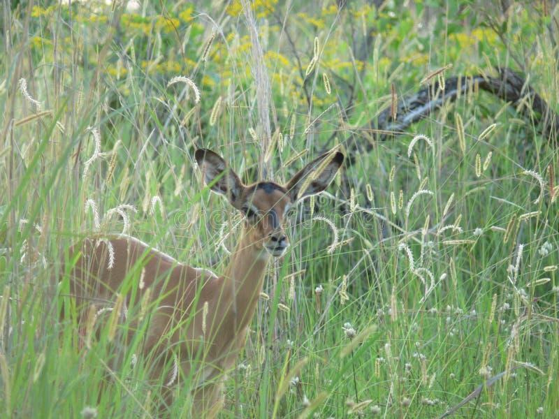 Impalakalb im Gras stockbilder