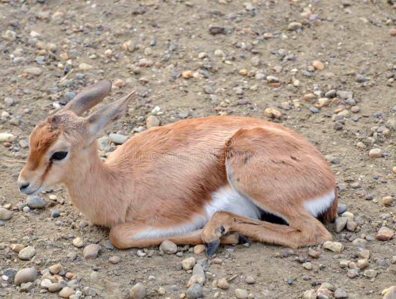 Impalan behandla som ett barn fotografering för bildbyråer