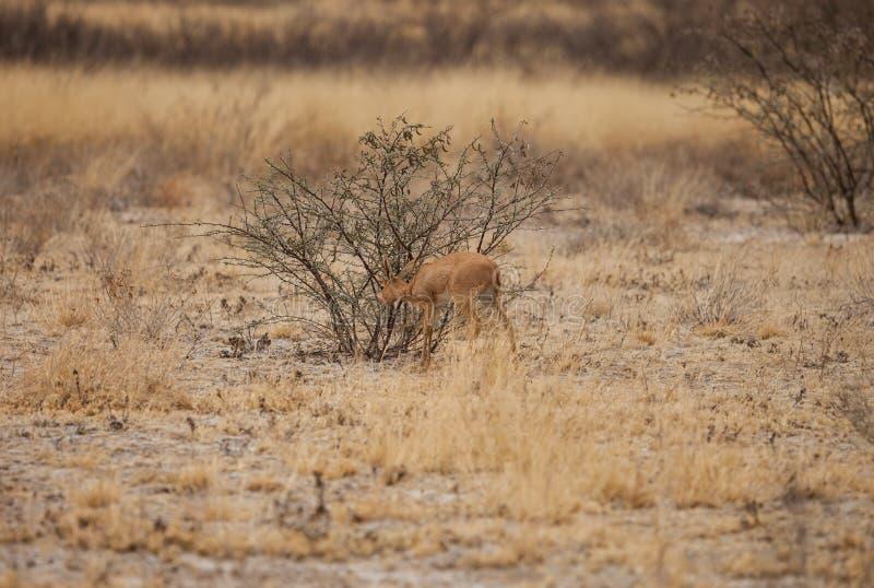 Impalan behandla som ett barn arkivbild