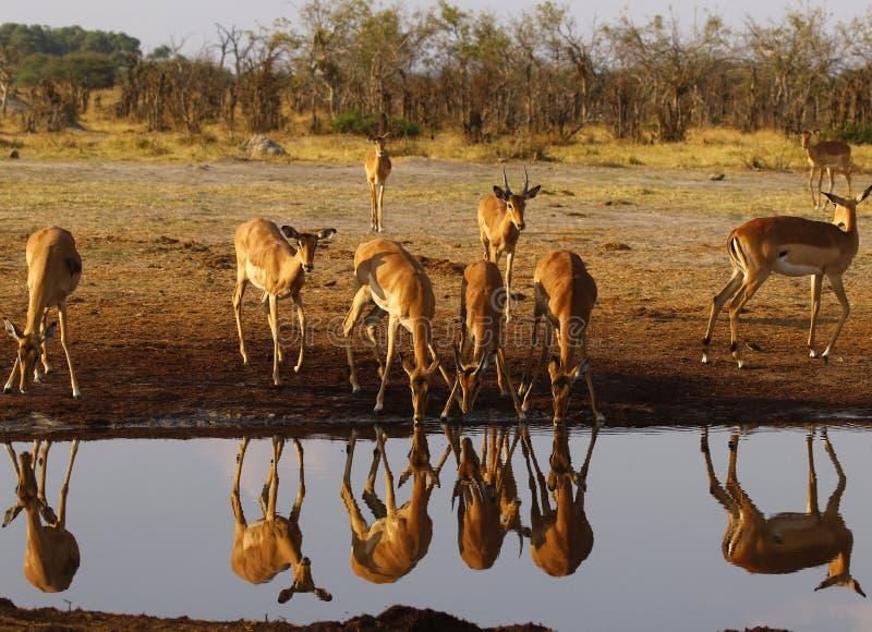 Impalan slättar spelar impalareflexioner i vattnet arkivfoto
