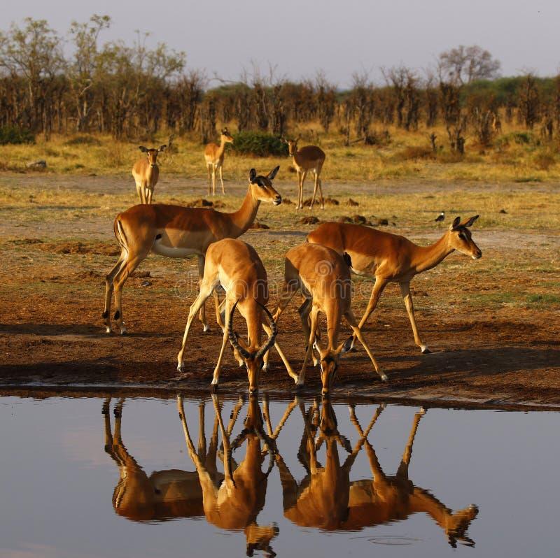 Impalan slättar spelar impalareflexioner i vattnet royaltyfri foto