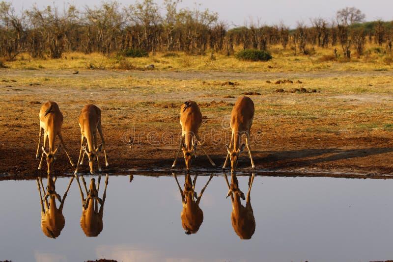 Impalan slättar spelar impalareflexioner i vattnet royaltyfria bilder