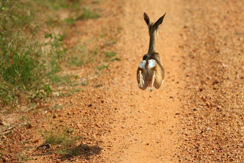impalarunning royaltyfria foton