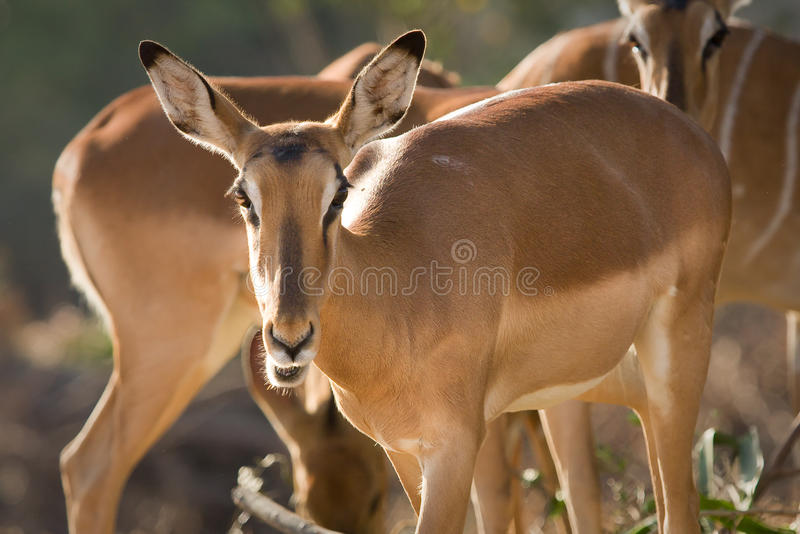 Download Impalas stock image. Image of kruger, mozambique, masai - 10392163