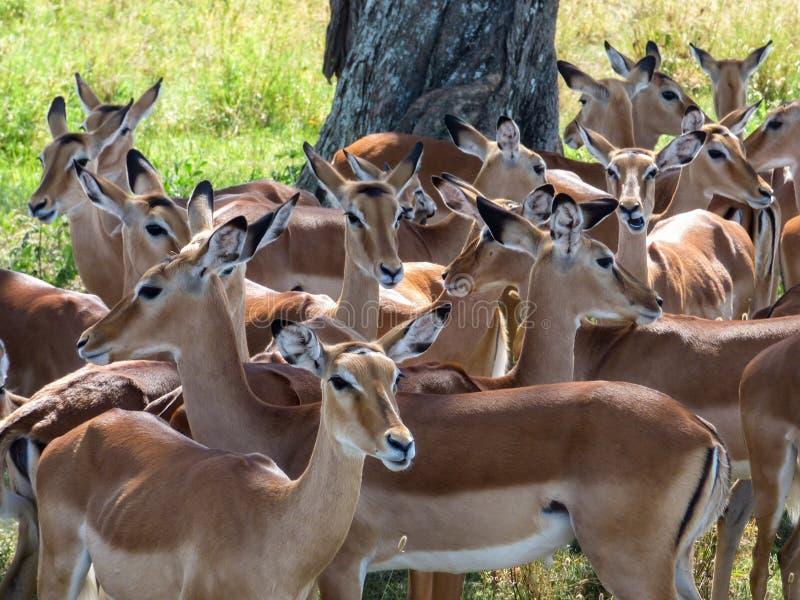 impalas royalty-vrije stock afbeeldingen