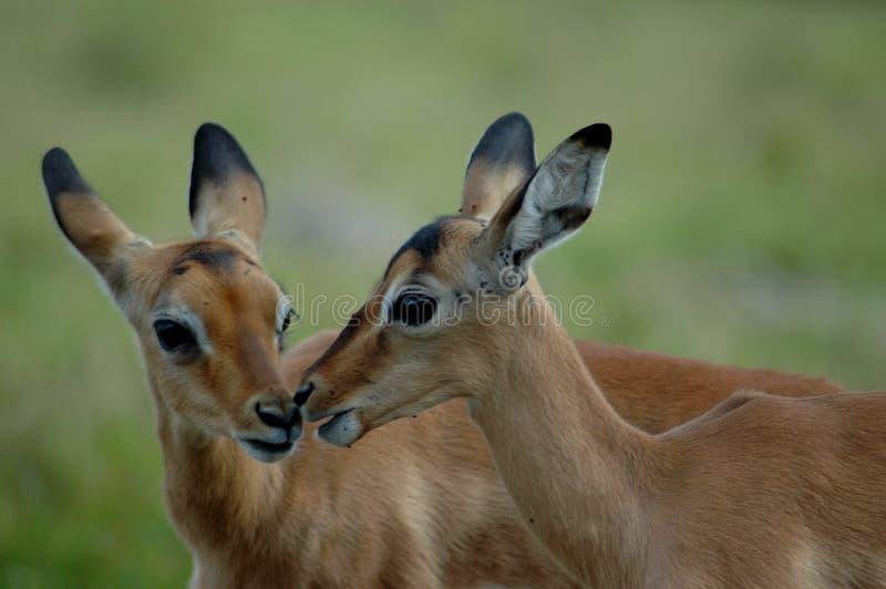 Impalas foto de stock royalty free