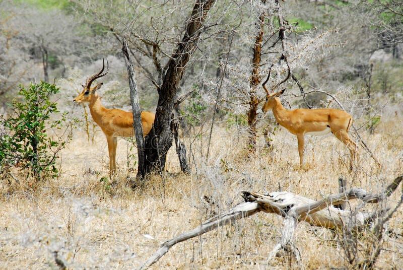 Impalas fotos de stock royalty free
