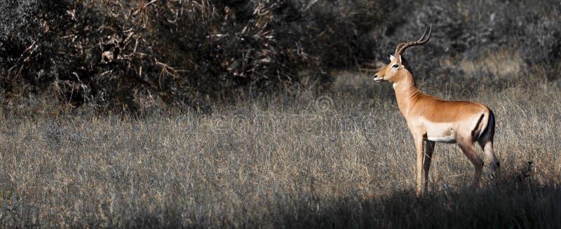 impalas zdjęcie royalty free