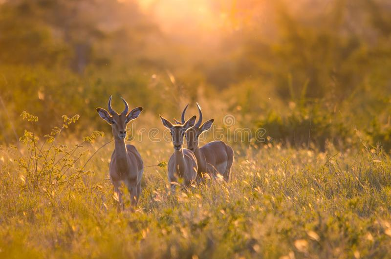 3 Impalas aepyceros młody męski melampus przy zmierzchem, w Kruger parku narodowym, backlit przy złotą godziną obraz stock