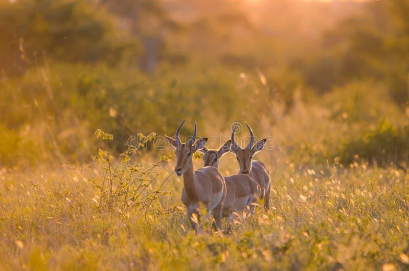 3 Impalas aepyceros melampus młody męski odprowadzenie przez krzaka w Kruger parku narodowym po?udnie fotografia royalty free