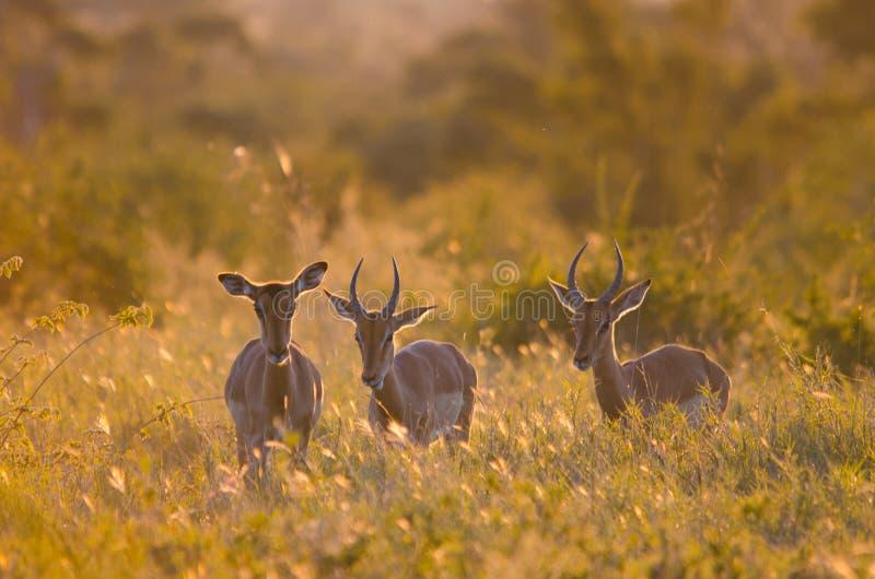 3 Impalas aepyceros melampus odprowadzenie przez krzaka w Kruger parku, backlit przy złotą godziną afryce kanonkop s?ynnych g?ry  zdjęcia royalty free