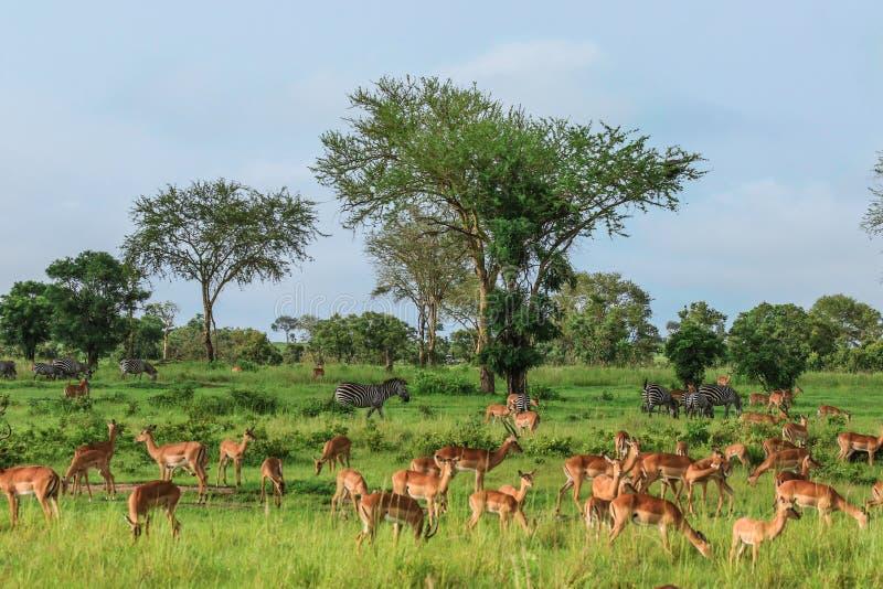 Impalas africanas selvagens agradáveis no parque nacional de Mikumi, Tanzânia fotos de stock royalty free