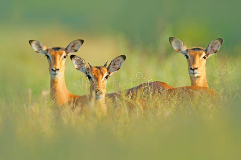 Impalas bonitas na grama com sol da noite, retrato escondido na vegetação Animal na natureza selvagem Por do sol no wildl de Áfri foto de stock