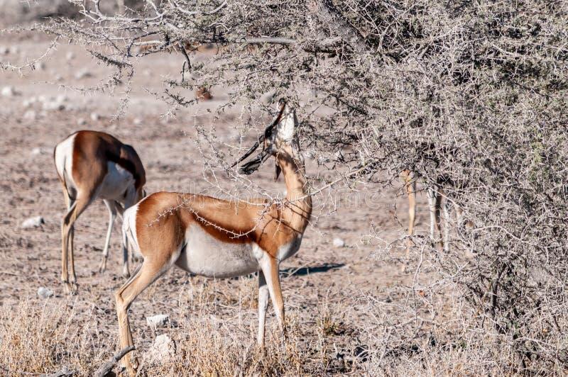 Impalas browsing in Etosha. One Impala - Aepyceros melampus- browsing from scrubs in Etosha National Park, Namibia royalty free stock photo