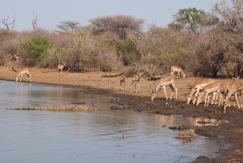 Impalas and crocodiles royalty free stock photos