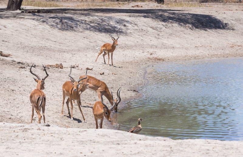 Impalas drinking water. Impala (Aepyceros melampus) drinking water in Tarangire in Tanzania, Africa royalty free stock photography