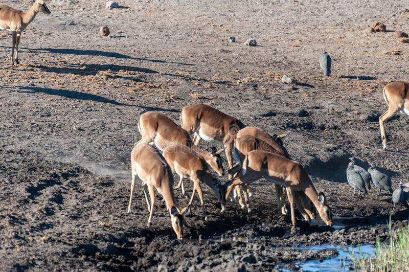 Impalas drinking from a waterhole. A group of Impalas -Aepyceros melampus- drinking from a waterhole in Etosha National Park, Namibia stock photography