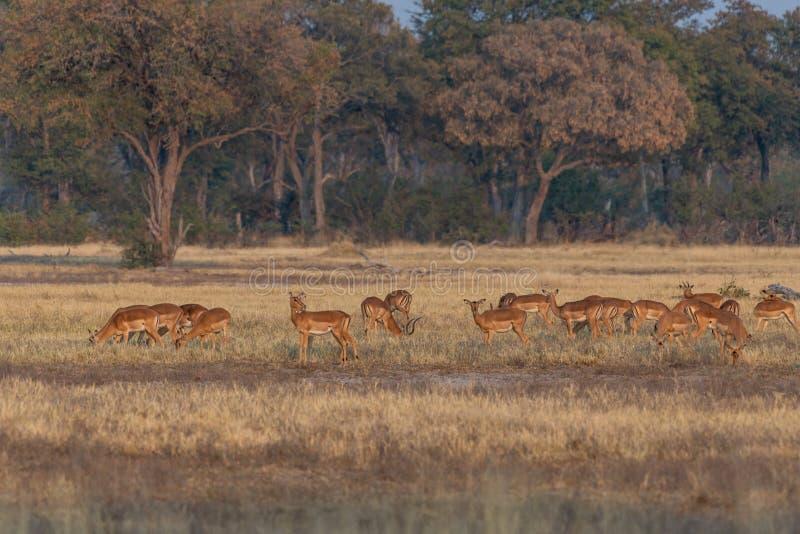 Impalas em comer entre a grama amarela na reserva do jogo do moremi em Botswana fotografia de stock