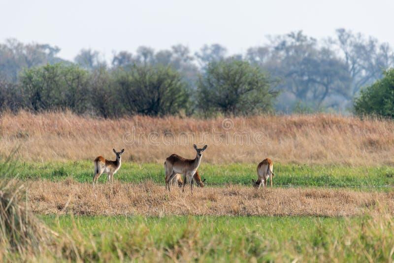 Impalas em comer entre a grama amarela na reserva do jogo do moremi em Botswana foto de stock royalty free