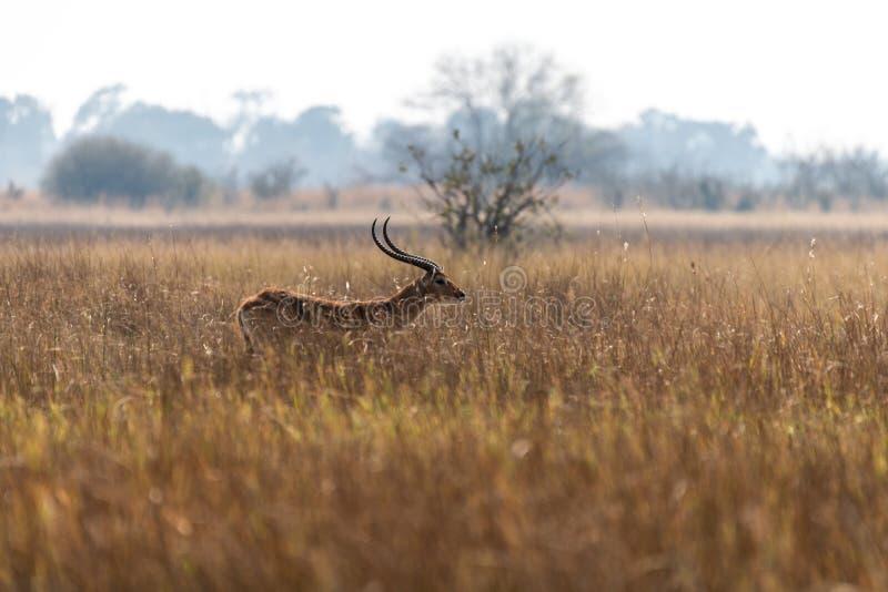 Impalas em comer entre a grama amarela na reserva do jogo do moremi em Botswana fotos de stock royalty free