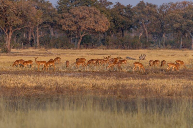 Impalas em comer entre a grama amarela na reserva do jogo do moremi em Botswana fotos de stock
