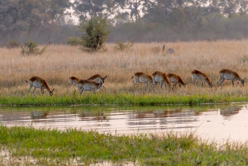 Impalas em comer entre a grama amarela na reserva do jogo do moremi em Botswana imagens de stock